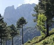 Wald im Bavella - Larccio-Kiefern
