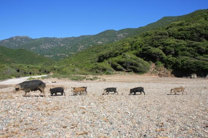 Wildschweine auf Korsika