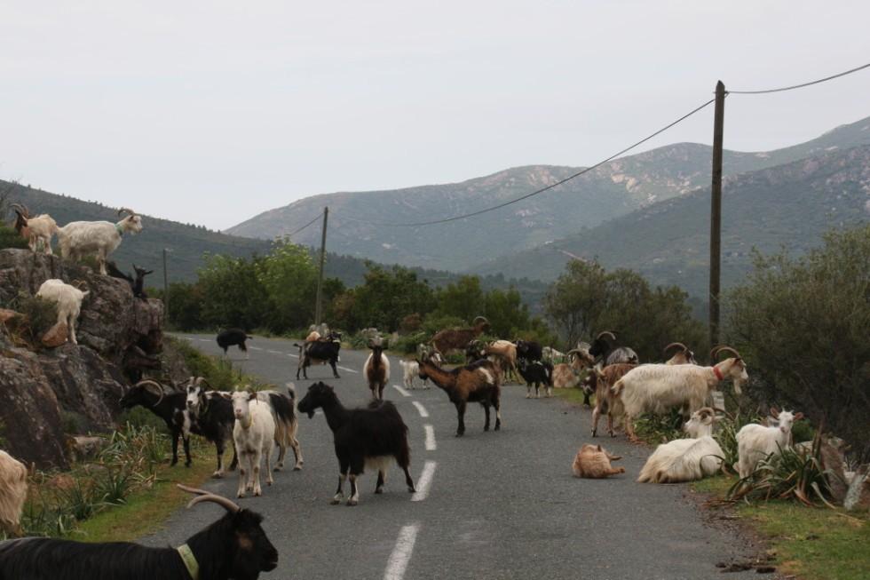 Ziegen auf Korsikas Straßen