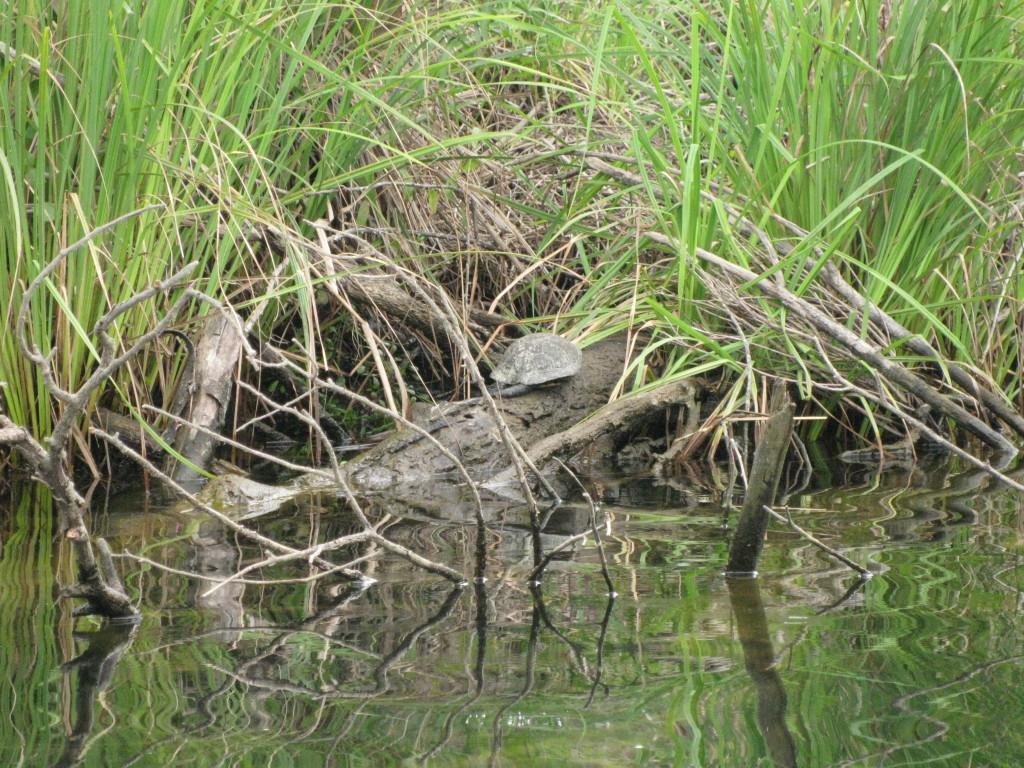 Wasserschildkröte auf Korsika