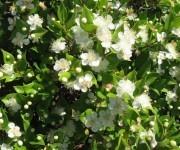 Myrte in Blüte