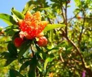 Jardin d'Avapessa - Granatapfel